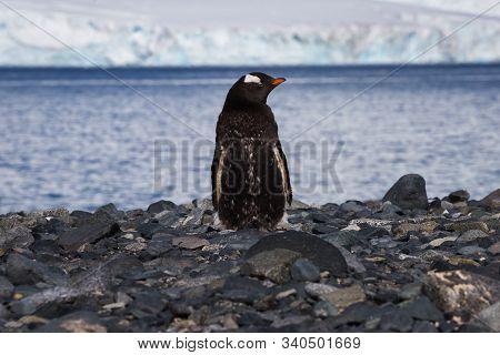 One Gentoo Antarctica Lonely Penguin On The Stone Coast