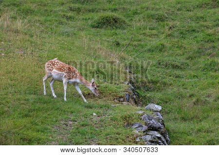 Fallow Deer (dama Dama) In Merlet Animal Park. Chamonix, France
