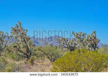 Spiny Joshua Trees (yucca Brevifolia) In The Sonora Desert. Maricopa County, Arizona Usa