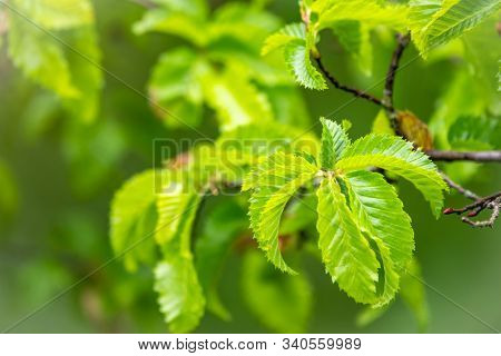 Bright Green Leafs Lit By Sun Light. The Green Leaves Of Elm Are Lit By The Sun