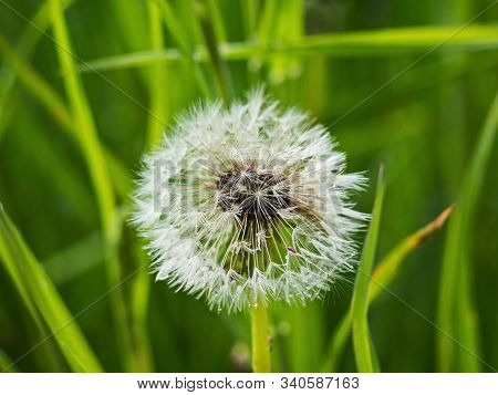 Dandelion After Rain. Nature Of Leningrad Region.