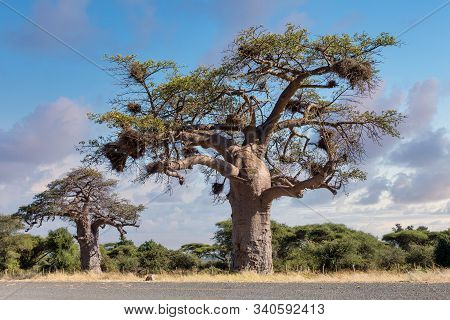 Majestic Tree Baobab, Adansonia Digitate, After Sunrise In Namibia Near Botswana Border. Africa Wild