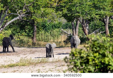 African Elephant Loxodonta With Baby In Game Reserve Bwabwata, Caprivi Strip, North Namibia, Africa