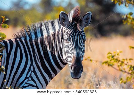 Zebras In African Bush. National Park Okavango, Botswana, Africa Safari Wildlife And Wilderness