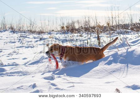Red-haired Orange Big Powerful Dog Of Breed Cadebo, Walks In The Snow And Carries An Orange Puller T