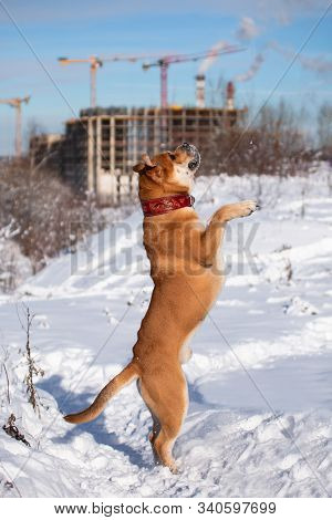 The Red-haired Orange Big Powerful Dog Of The Breed Cadebo, Walking In The Winter, In The Snow, Agai