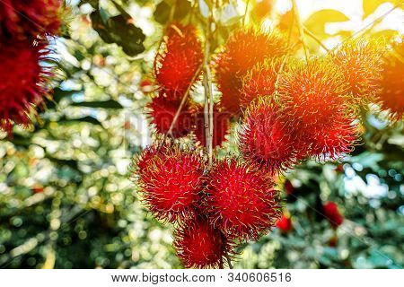 Plenty Of Rambutan On The Tree With Light Flare