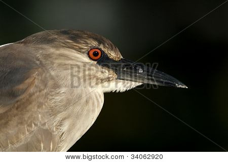 Black-Crowned Night Heron (Nycticoras nycticorax)