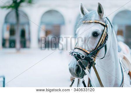 Portrait Of The World Famous Lipizzaner Stallion Legendary White Stallions Horse. Spanish Riding Sch