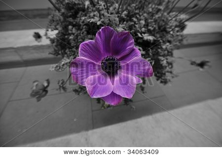 PURPLE OVER BLACK AND WHITE