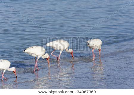 Four white ibis walking and feeding on the beach. poster