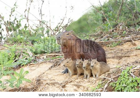 Close Up Of Capybara Mother With Four Pups Sitting On A River Bank, North Pantanal, Brazil.