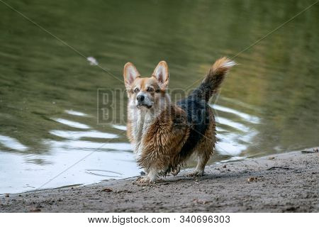 A Small Alert Dog With Pointy Ears Posing At The Beach Of Lake Grunewald In Berlin