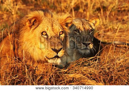 A Pair Of Lions (panthera Leo) Lying Together After Coupling. Lions Love In Zambia, South Luangwa. B