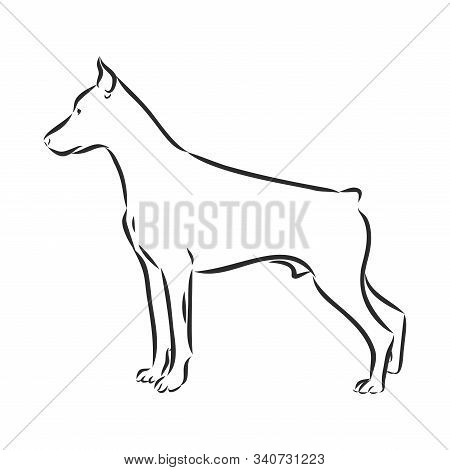 Doberman Pincer Line Art, Silhouette, Tribal. Freehand Vector Illustration. Print For Pod Sites And