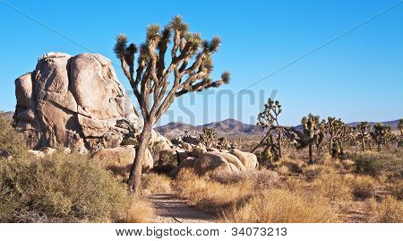 Landscape Of Joshua Trees And Rocks