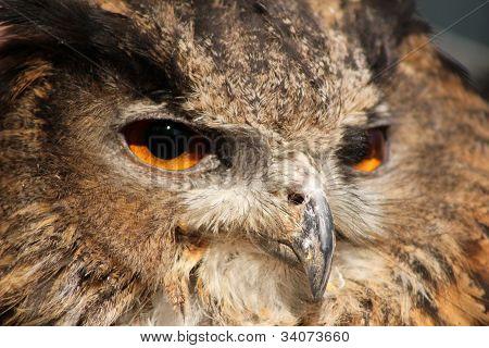 Eurasian Eagle Owl  Close up