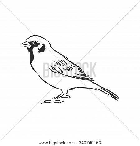 Sparrow Bird Engraving Vector Illustration. Scratch Board Style Imitation. Hand Drawn Image.