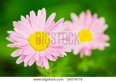 Pink daisy flower closeup (Pink Pyrethrum)