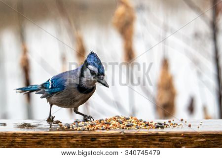 A Wet Blue Jay In Rainy Weather Inspects Birdseed That Has Been Spilled Out In A Small Pile On A Woo