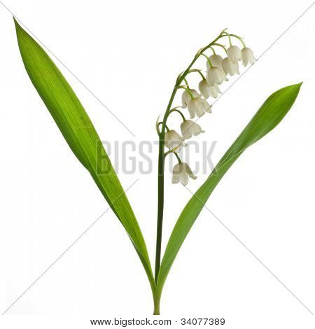 Lily of the Valley (Convallaria Majalis) isolated on white poster