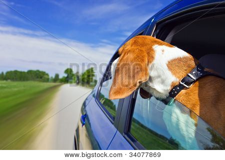 poster of The cute beagle travels in the blue car.