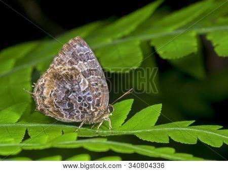 Aberrant Oakblue Butterfly, Arhopala Abseus At Garo Hills In Meghalaya, India