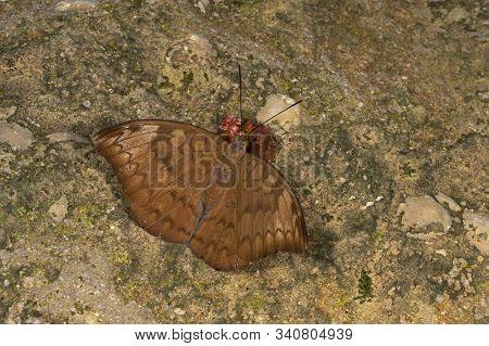Plain Earl, Tanaecia Jahnu Butterfly At Garo Hills In Meghalaya, India