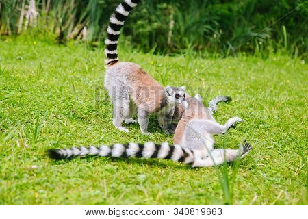 Ring-tailed Lemur Family On The Grass.