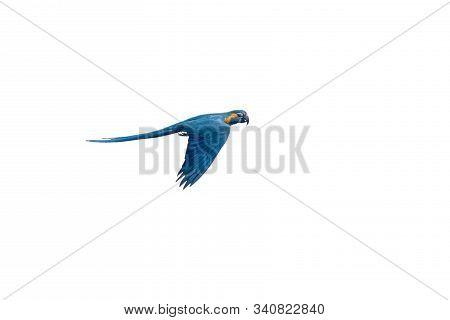 Isolated Flying Blue-and-yellow Macaw - Ara Ararauna