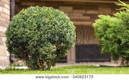 Round Boxwood Bush On The Lawn. Evergreen Plant, Landscape Design.