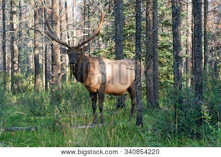 American Elk (cervus Canadensis), Image Was Taken In Jasper National Park, Alberta, Canada
