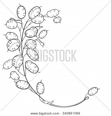 Vector Corner Bunch Of Outline Lunaria Or Honesty Or Moonwort Dried Flowers In Black Isolated On Whi