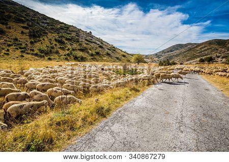 Flock Of Sheep - Mavrovo National Park, Mavrovo And Rostusa Municipality, North Macedonia, Europe