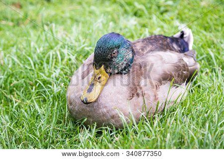 Mallard Duck - Anas Platyrhynchos