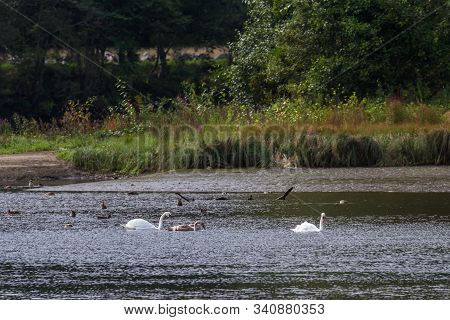 Swan Family In A Pond In The Tay Forest Park In The Scottish Highlands