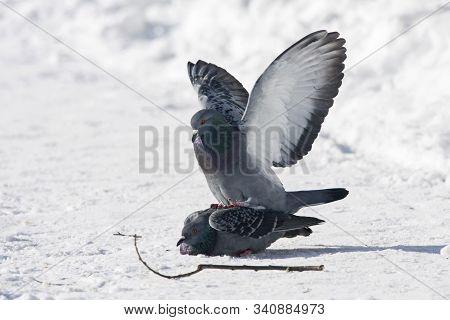 Feral Pigeons Columba Livia Domestica Pair Mating On Snow. Cute Common Urban Birds Sex In Wildlife.