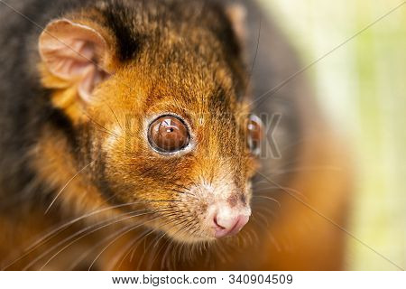 Ring-tailed Possum