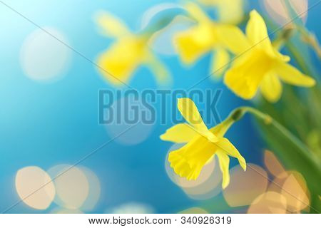 Yellow Daffodils Bouquet On A Bright Blue Background With Yellow Bokeh. The First Spring Flowers. Ye