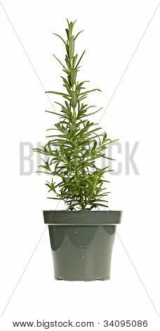 Plant Of Rosemary In A Green Plastic Pot