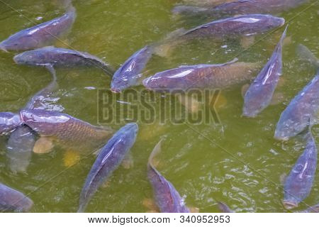 School Of Hungry Common Carps Swimming In The Water, Popular Fresh Water Fish From Europe, Vulnerabl