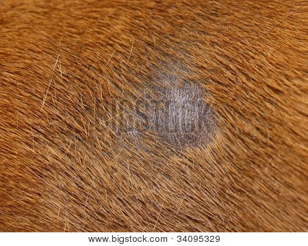 Fungus Infection On Dog