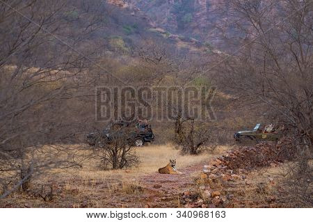 Picturesque Image Of Male Tiger, Safari Vehicles And Landscape Of Ranthambore National Park Or Tiger