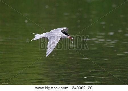 Common tern sterna hirundo carry fish in beak over lake water. Cute agile fast waterbird. Bird in wildlife. poster