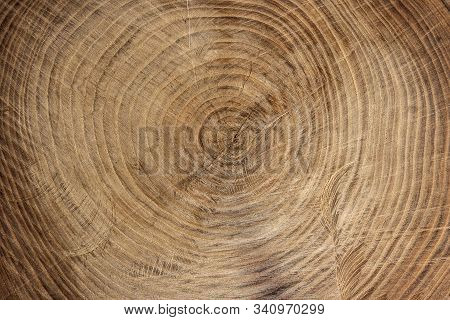 Wooden Texture From Cut Tree Trunk Of Maple Tree, Closeup. Cross Section Of A Tree Trunk. Top View.