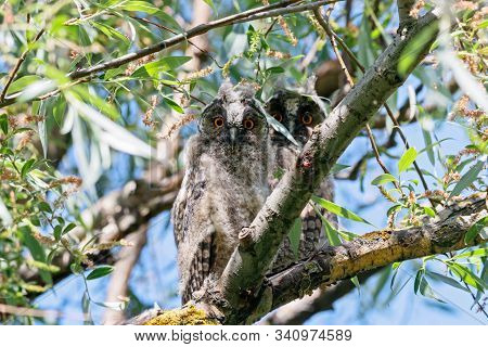Two Long-eared Owl Asio Otus Juvenile Sitting On Branch Of Tree. Cute Young Nocturnal Raptor Bird In