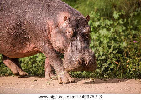 A Huge Hippo Walks Along The Road With Public Transport And Chews Grass. This Is A Rarity As Hippos