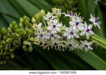 View Of Flowering Tropical Plant With White-lilac Small Flowers. Macro Photography Of Lively Nature.