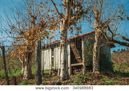 Rural Autumn Landscape With A Small Shabby Shack Next To Leafless Plane Trees, In A Vineyard Near Be
