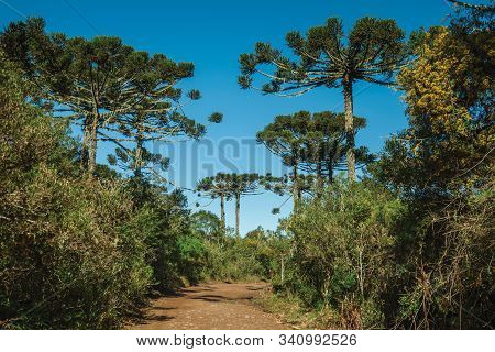 Dirt Pathway Passing Through Forest With Pine Trees In The Aparados Da Serra National Park, Near Cam